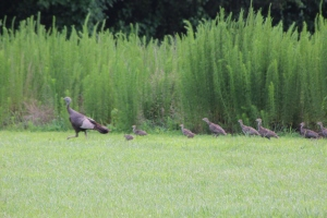 Turkey in our front yard!